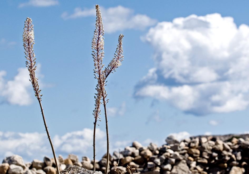 Urginea maritima - Gewöhnliche Meerzwiebel - sea squill  -  - Gras- und Felsfluren - grassy and  rocky terrains