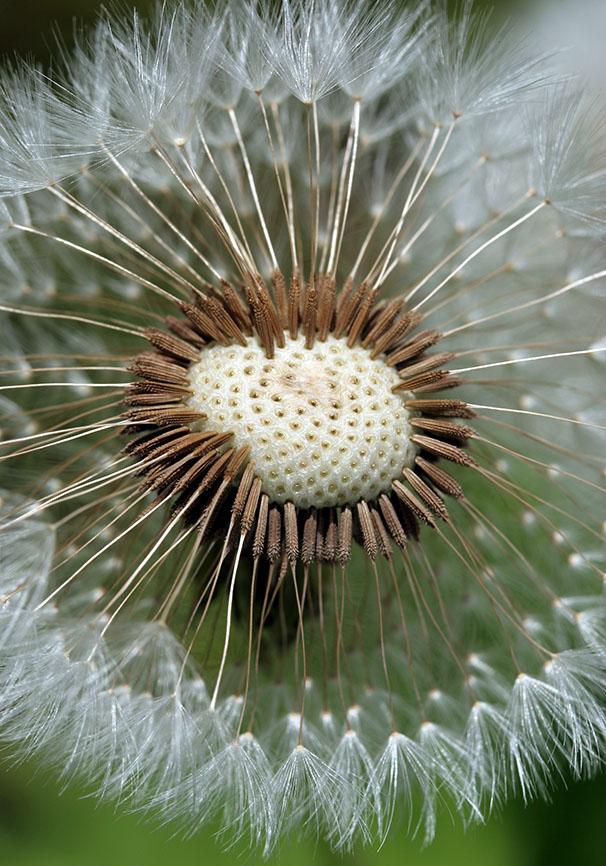 Löwenzahn -  - Samen - Seeds