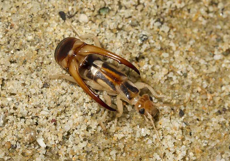 Labidura riparia - Sandohrwurm - Naxos  - Dermaptera - Ohrwürmer - earwigs