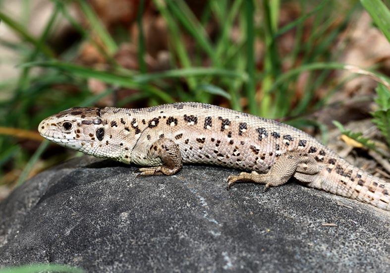Lacerta agilis  Zauneidechse -  - Lacertilia - Echsen - lizards