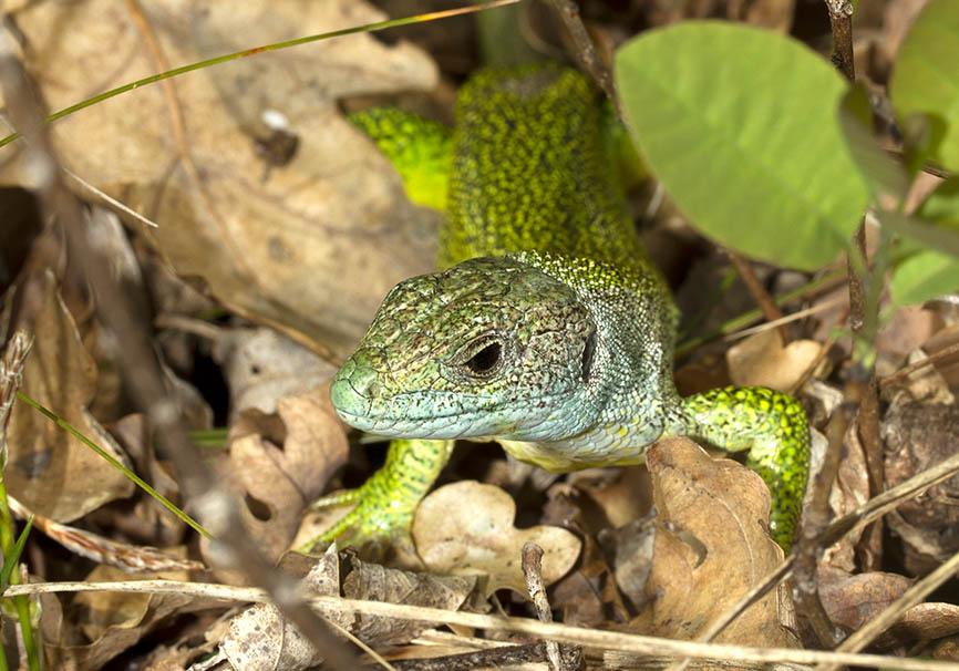 Lacerta bilineata - Westliche Smaragdeidechse - Gardasee - Lacertilia - Echsen - lizards