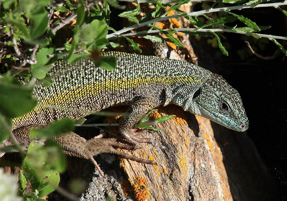 Lacerta trilineata citrovittata - Riesen-Smaragdeidechse - Andros, Tinos - Lacertidae - Eidechsen - Lizards