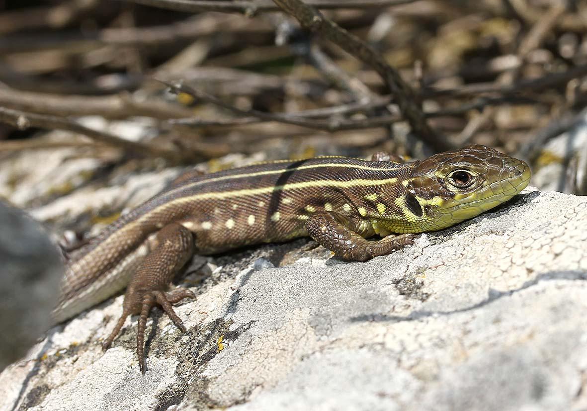 Lacerta trilineata citrovittata  (juvenil) -  Riesensmaragdeidechse - Andros - Lacertidae - Eidechsen - Lizards