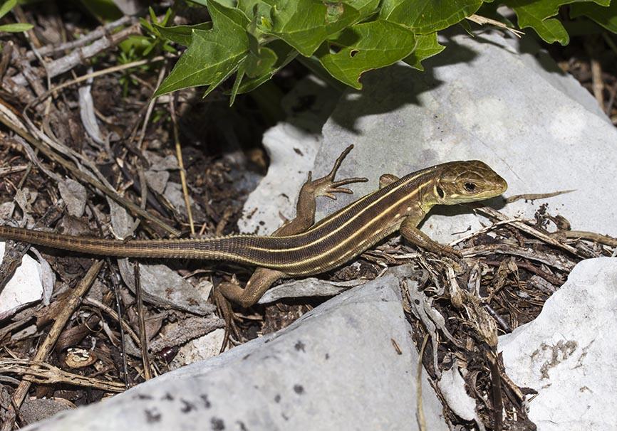 Lacerta trilineata trilineata (juv.) - Riesensmaragdeidechse - Zagori - Epirus - Lacertidae - Eidechsen - Lizards