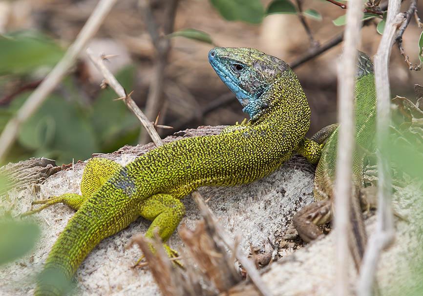 Lacerta viridis - Östliche Smaragdeidechse - Wachau - Lacertilia - Echsen - lizards