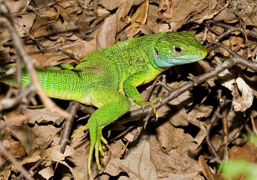 Lacerta viridis - Östliche Smaragdeidechse - Kroatien - Lacertilia - Echsen - lizards