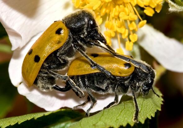 Lachnaia sexpunctata - Haar-Langbeinkäfer -  - Chrysomelidae - Blattkäfer - leaf beetles