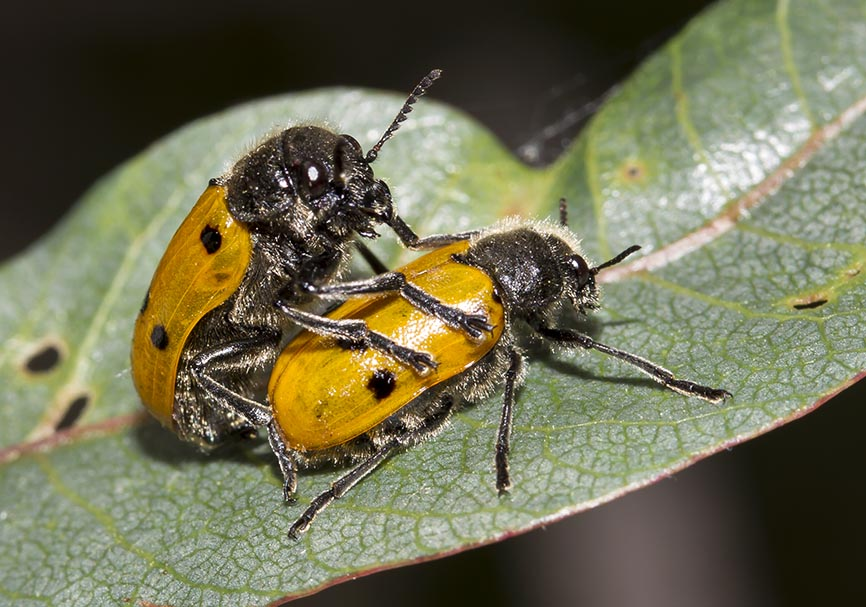 Lachnaia sp. - Meteora - Thessalien - Chrysomelidae - Blattkäfer - leaf beetles