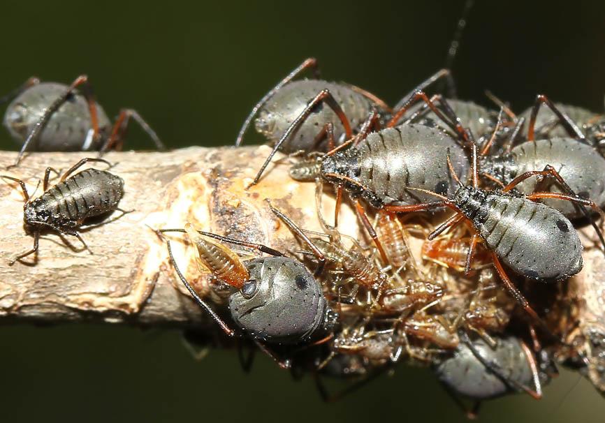 Lachnus roboris - Eichen Baumlaus - Fam. Lachnidae  (Baumläuse) mit Geburt eines Jungtieres - Sternorrhyncha - Pflanzenläuse