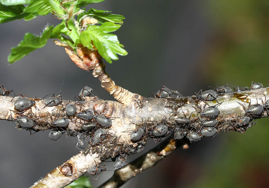 Lachnus roboris - Eichen Baumlaus - Fam. Lachnidae  (Baumläuse) - Sternorrhyncha - Pflanzenläuse