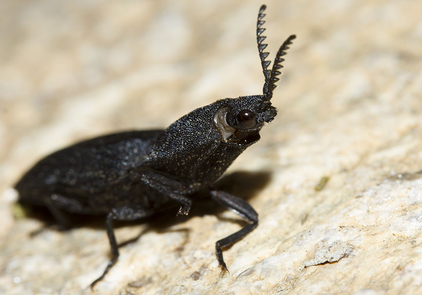Lacon punctatus - Weißschuppiger Springkäfer - Fam. Elateridae  (Schnellkäfer)  -  Meteora - Thessalien - Weitere Käferfamilien - other beetle families