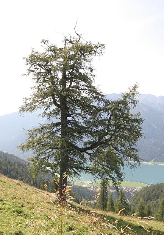 Larix decidua -  Lärche  -  - Bergwald/Waldgrenze - mountain forest/timberline