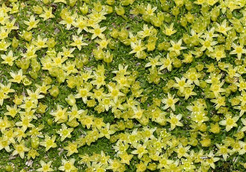 Minuartia sedoides - Zwergmiere - Fam. Caryophyllaceae - Subnivale Zone / Schneetälchen
