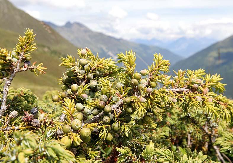 Juniperus communis alpina - Zwerg-Wacholder - Fam. Cupressaceae - Zwergstrauchheide - dwarf-shrub