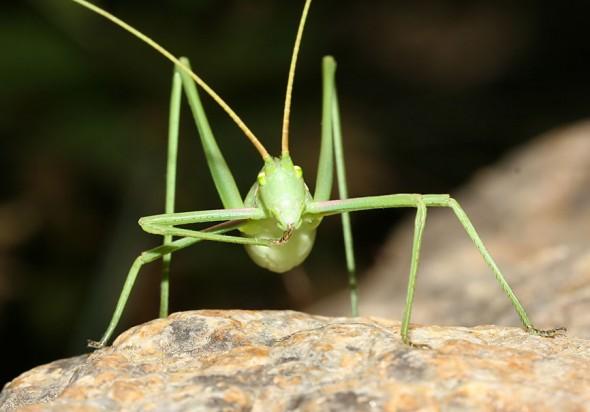 Acrometopa syriaca - Langbeinige Sichelschrecke - Ikaria - Ensifera - Phaneropteridae - Sichelschrecken -