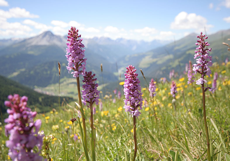 Gymnadenia conopsea - Langspornige Handwurz  - Fam. Orchidaceae - Alpine Feuchtwiesen - alpine wetlands