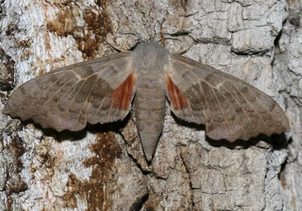 Laothoe populi - Pappelschwärmer -  - Sphingidae - Schwärmer - hawk moths