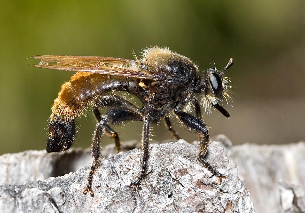 Laphria flava - Gelbe Raubfliege - Fam. Asilidae - Raubfliegen - Brachycera (Fiegenartige) - Orthorrhapha