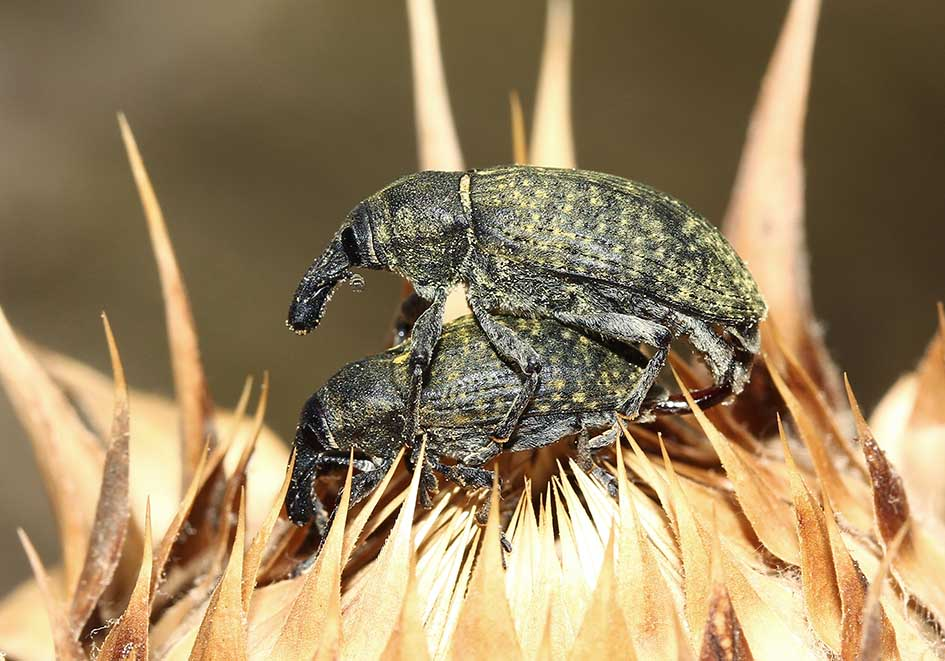 Larinus latus - Samos - Curculionidae - Rüsselkäfer - weevils