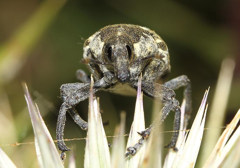 Larinus onopordi - Distelrüssler - Symi - Curculionidae - Rüsselkäfer - weevils