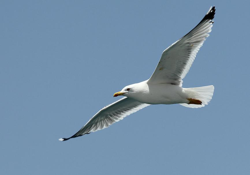 Laurus michahellis - Mittelmeermöve -  - Aves - Vögel - birds