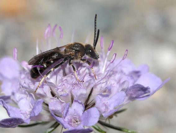 Lasioglossum calceatum - Gewöhnliche Schmalbiene - Männchen - male - Apiformes - Halictidae - Bienen - bees