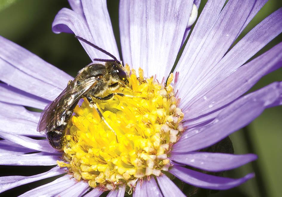 Lasioglossum calceatum (male) - Schmalbiene -  - Apidae - Halictinae - Bienen - bees