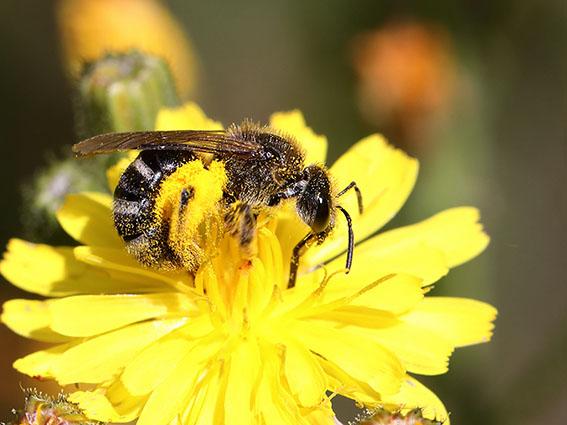 Lasioglossum leucozonium - Weißbinden-Schmalbiene - Weibchen - female - Apiformes - Halictidae - Bienen - bees