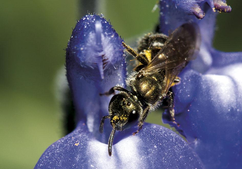 Lasioglossum morio - Schmalbiene -  - Apidae - Halictinae - Bienen - bees