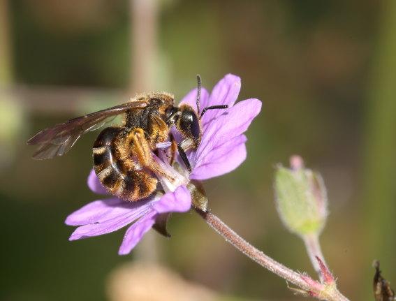 Lasioglossum nigripes - Schmalbiene - Weibchen - female - Apiformes - Halictidae - Bienen - bees