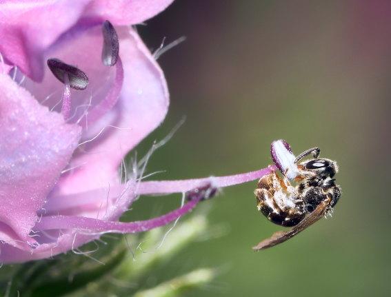 Lasioglossum politum - Polierte Schmalbiene - Weibchen - female - Apiformes - Halictidae - Bienen - bees