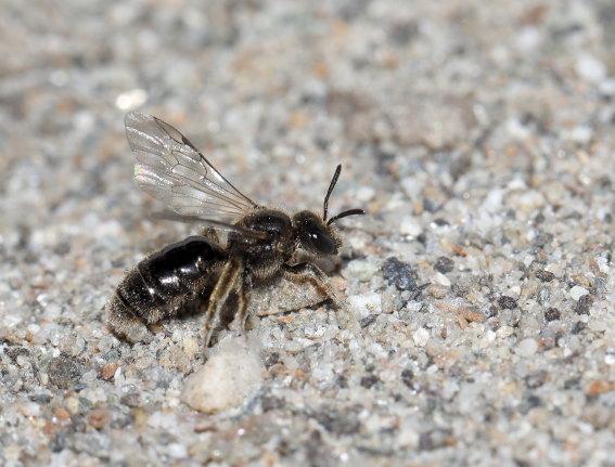 Lasioglossum villosulum - Zottige Schmalbiene -  - Apiformes - Halictidae - Bienen - bees