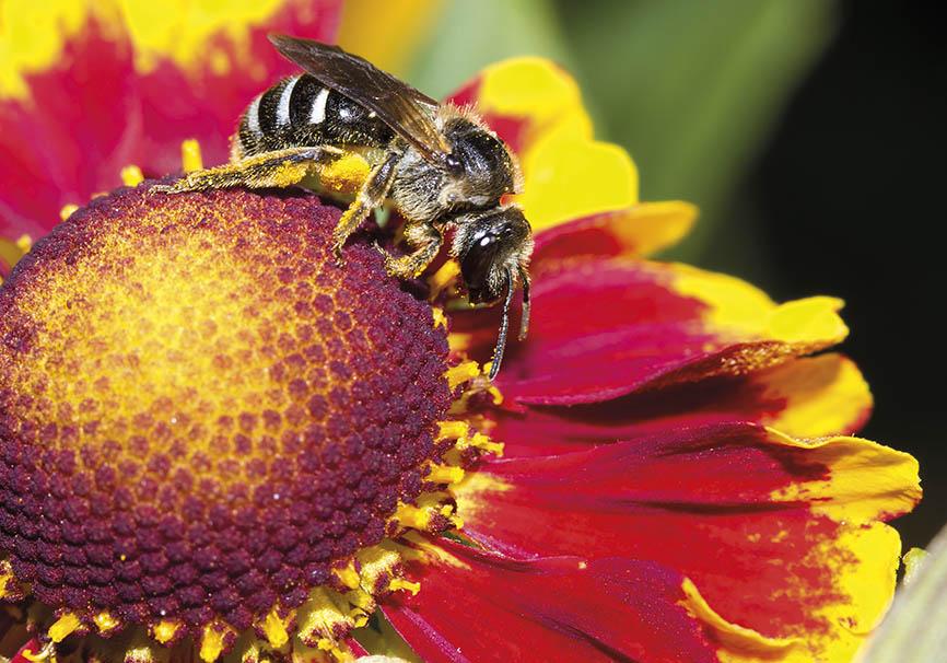 Lasioglossum  zonulum - Schmalbiene -  - Apidae - Halictinae - Bienen - bees