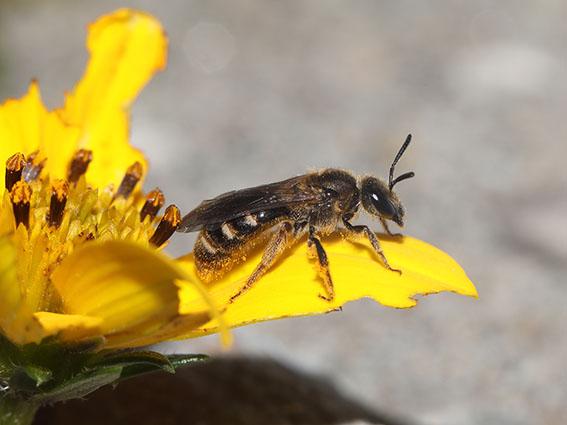 Lasiolglossum calceatum - Gewöhnliche Schmalbiene - Weibchen - female - Apiformes - Halictidae - Bienen - bees