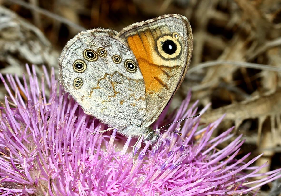 Lasiommata maera - Braunauge - Samos - Nymphalidae - Edelfalter - brush-footed butterflies