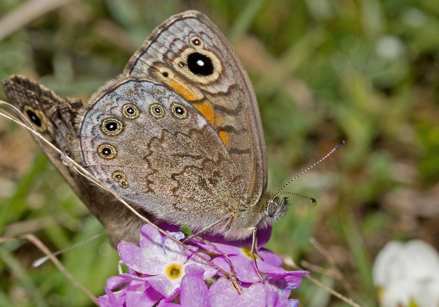 Lasiommata petropolitana - Braunscheckauge -  - Nymphalidae - Edelfalter - brush-footed butterflies