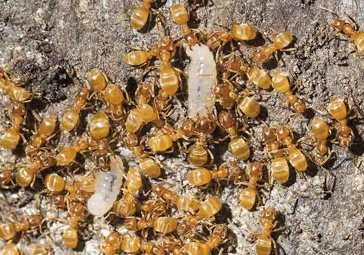 Lasius flavus - Gelbe Wiesenameise -  - Formicidae - Ameisen - ants