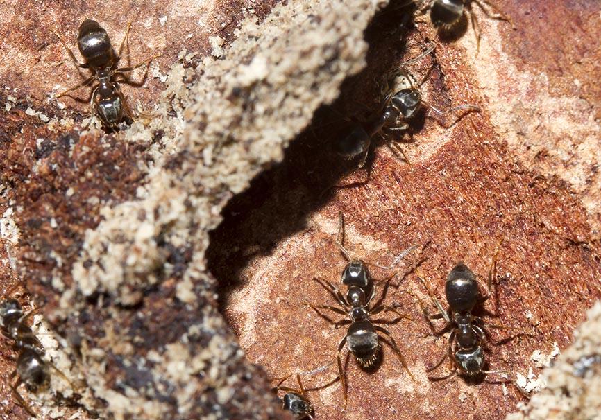 Lasius platyothorax -  - Formicidae - Ameisen - ants