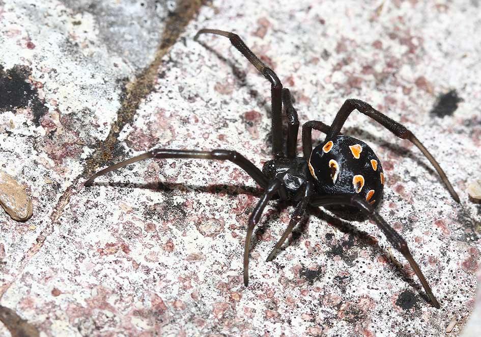 Latrodectus tredecimguttatus - Europäische Schwarze Wittwe - Fam. Theridiidae  -  Ikaria - Araneae - Webspinnen - orb-weaver spiders