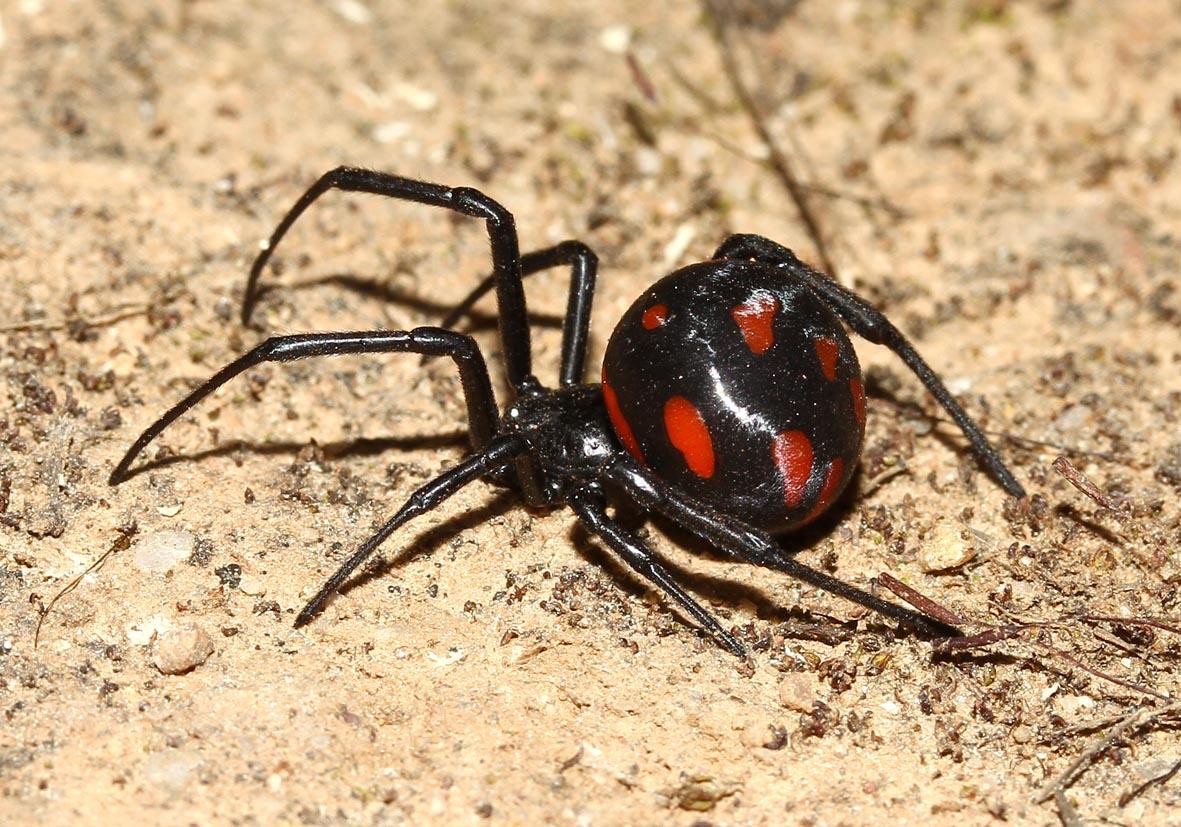 Latrodectus tredecimguttatus - Europäische Schwarze Witwe - Fam. Theridiidae  -  Toscana - Araneae - Webspinnen - orb-weaver spiders