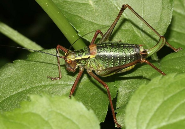 Barbitistes serricauda - Laubholz Säbelschrecke - Fam. Phaneropteridae - Sichelschrecken - Weitere Geradflügler - other orthopters