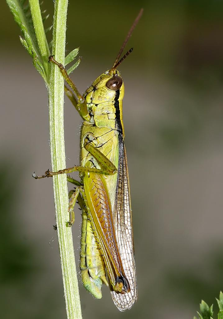 Mecostethus parapleurus - Lauchschrecke - UFam. Oedipodinae - Acrididae - Feldheuschrecken - grasshoppers