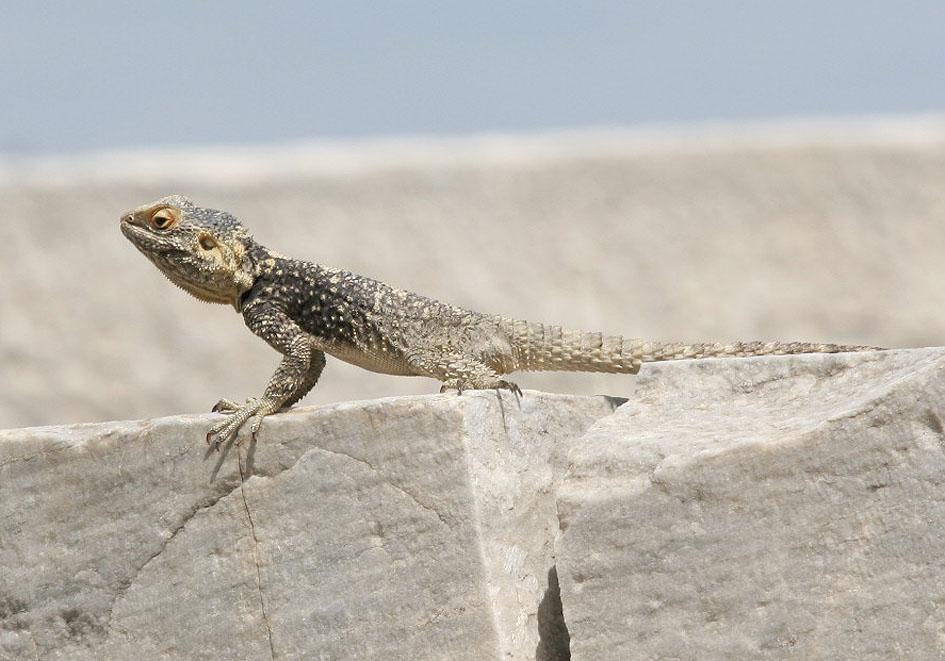 Laudakia stellio - Hardun - Kos - Lacertilia - Echsen - lizards