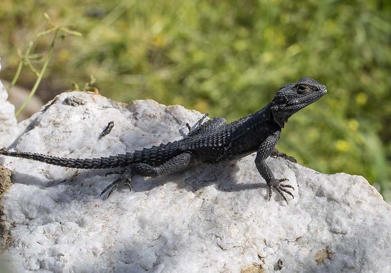 Laudakia stellio - Hardun - Naxos - Lacertilia - Echsen - lizards