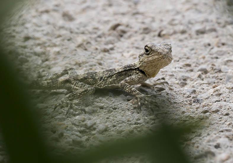 Laudakia stellio  (juv.) - Hardun - Tilos - Lacertilia - Echsen - lizards
