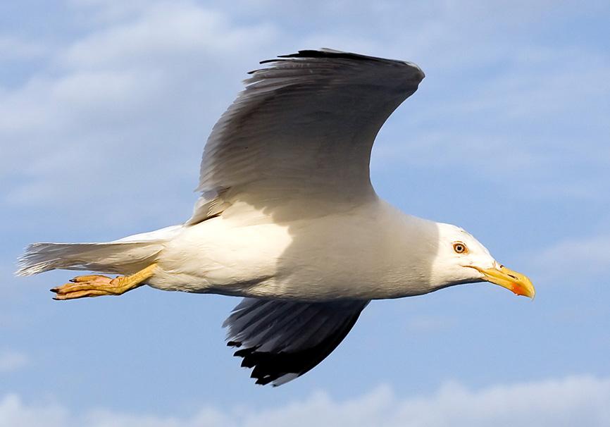 Laurus michahellis - Mittelmeermöve - Athen - Aves - Vögel - birds