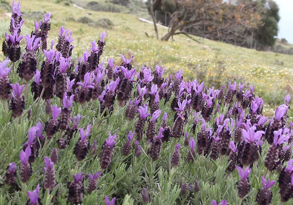 Lavandula stoechas - Schopflavendel - French lavender -  - Phrygana
