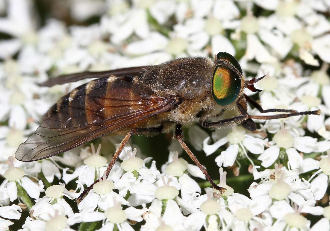 Philipomyia aprica - Fam. Tabanidae - Bremsen - Brachycera (Fiegenartige) - Orthorrhapha