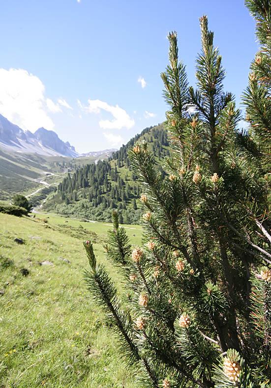 Pinus mugo - Legföhre - Fam. Pinaceae - Bergwald/Waldgrenze - mountain forest/timberline