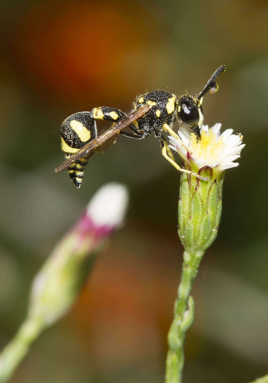 Lehmwespe - Naxos - Vespidae - Faltenwespen -wasps